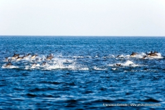 dolphins_in_the_wild