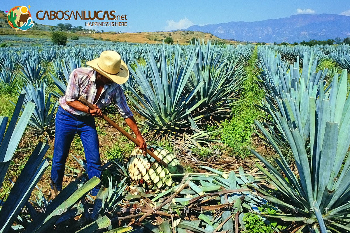 Harvesting the agave (jima)