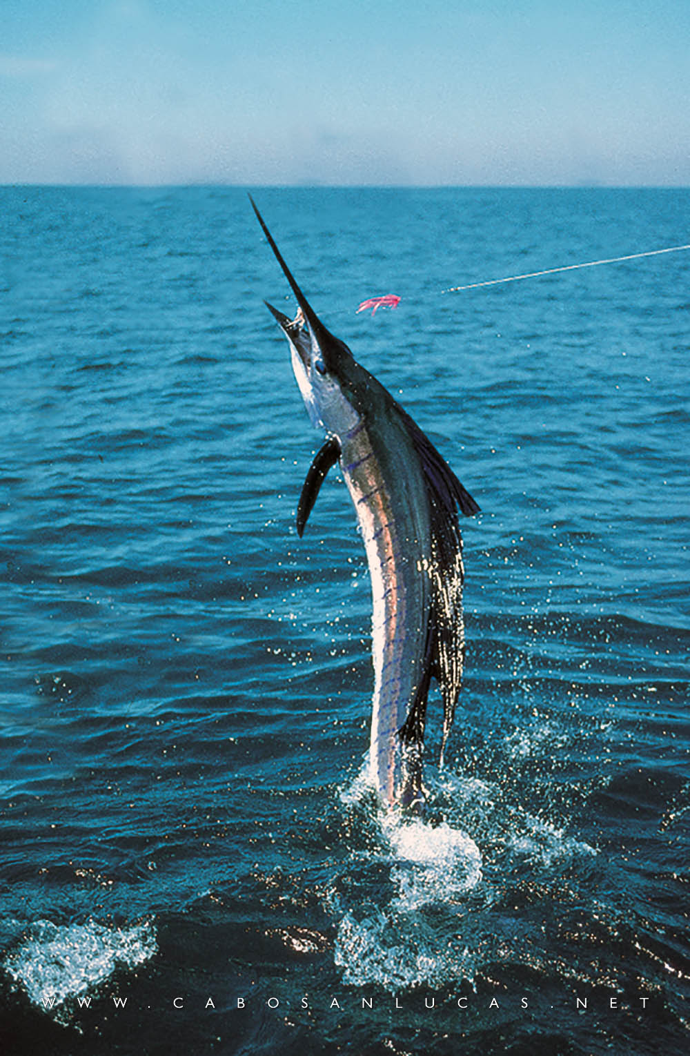 Cabo san lucas los cabos sport fishing for Cabo san lucas fishing season