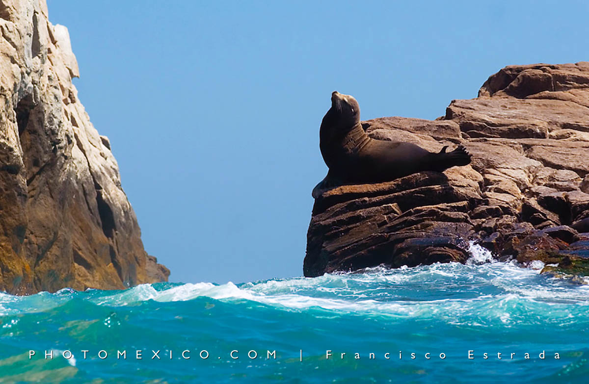 Sea lion at Los Cabos