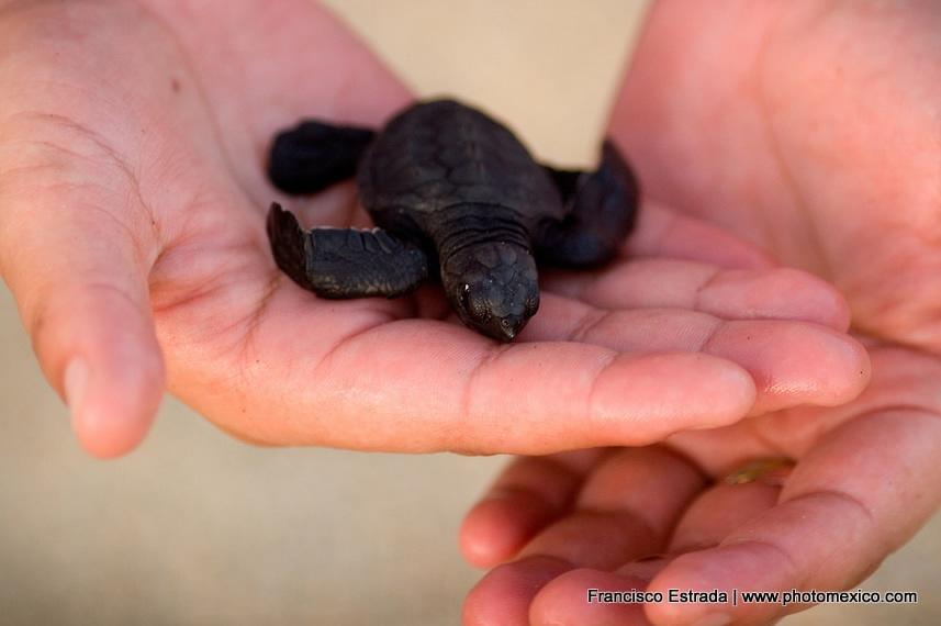 Baby sea turtle recently hatched